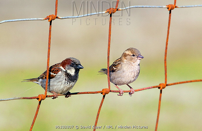 House sparrow (Passer domesticus) male and female perched on wire fence, North Uist, Outer Hebrides, Scotland, May  -  David Kjaer/ npl