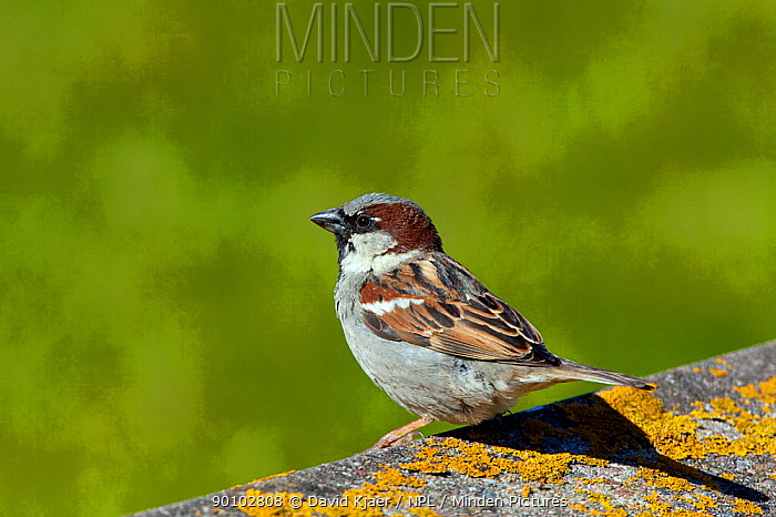 Male House sparrow (Passer domesticus) North Uist, Outer Hebrides, Scotland, May  -  David Kjaer/ npl