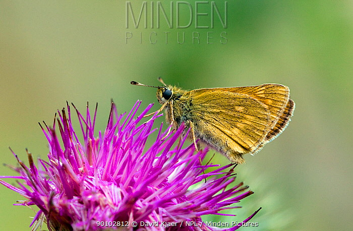 Female Large skipper butterfly (Ochlodes venata) on flower with underwing showing, Wiltshire, England, July  -  David Kjaer/ npl