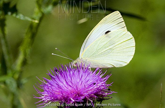 Large white butterfly (Pieris brassicae) on flower, underside of wing showing, Wiltshire, England, July  -  David Kjaer/ npl