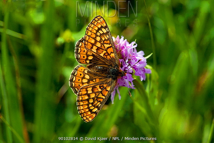 Marsh fritillary butterfly (Euphydryas aurinia) on flower, Hod Hill, Dorset, England, May  -  David Kjaer/ npl