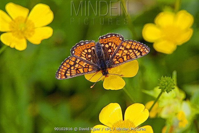 Marsh fritillary butterfly (Euphydryas aurinia) on flower, Dorset, England, May  -  David Kjaer/ npl