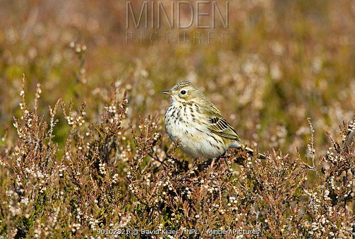 Meadow pipit (Anthus pratensis) perched on heather, Deeside, Scotland, April  -  David Kjaer/ npl