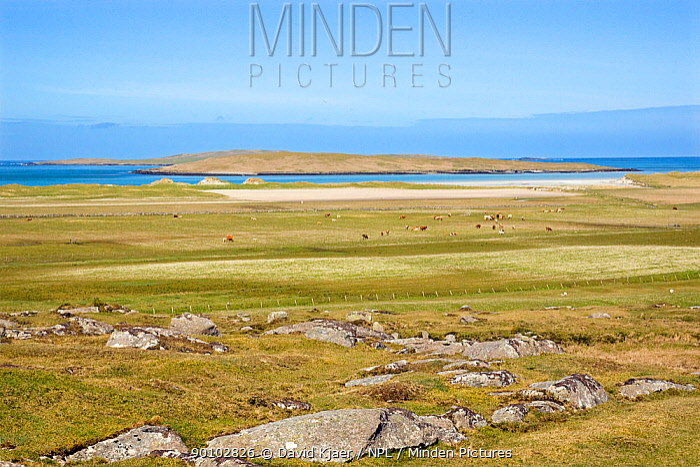 Cows grazing on machair, North Uist, Outer Hebrides, Scotland, May 2009  -  David Kjaer/ npl