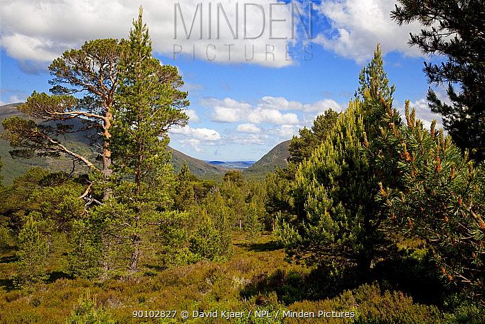 Old Caledonian Scots pine forest, Rothemurcus Estate, Speyside, Scotland, June 2009  -  David Kjaer/ npl