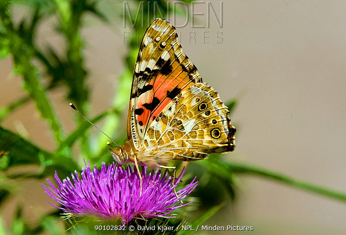 Painted lady butterfly (Cynthia cardui) on flower showing underwing, Wiltshire, England, April, July  -  David Kjaer/ npl