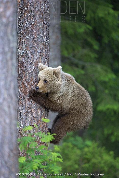European brown bear (Ursus arctos) cub climbing pine tree in taiga forest, Martinselkonen, Finland, June  -  Chris Gomersall/ npl