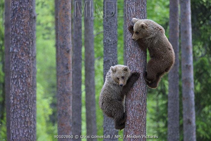 Two European brown bear (Ursus arctos) cubs climbing pine tree in taiga forest, Martinselkonen, Finland, June  -  Chris Gomersall/ npl