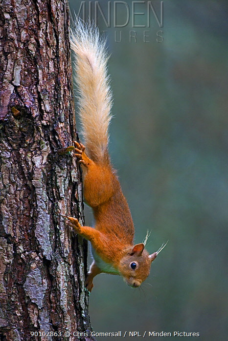 Red squirrel (Sciurus vulgaris) on tree trunk, in pine forest, Speyside, Scotland, July  -  Chris Gomersall/ npl