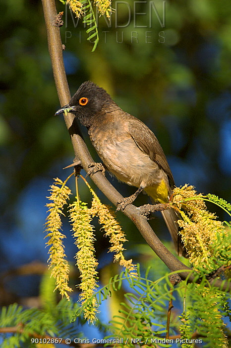 African red-eyed bulbul (Pycnonotus nigricans) with caterpillar, Namibia, Africa, November  -  Chris Gomersall/ npl