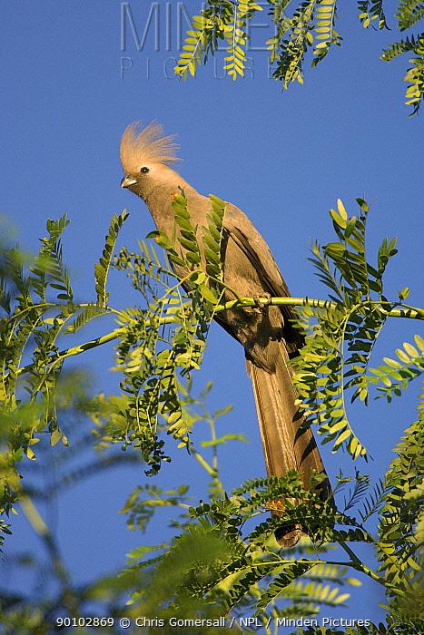 Grey go-away-bird, lourie (Corythaixoides concolor) Namibia, Africa, November  -  Chris Gomersall/ npl