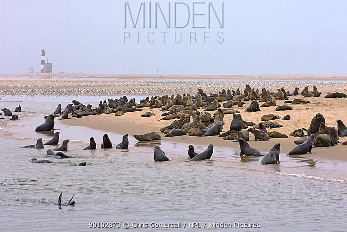 Cape fur seal (Arctocephalus pusillus) colony at Pelican Point, Walvis Bay, Namibia, November  -  Chris Gomersall/ npl