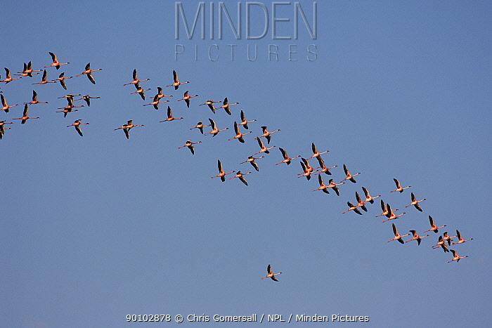 Lesser flamingo (Phoeniconaias, Phoenicopterus minor) flock in flight, Walvis Bay, Namibia, November  -  Chris Gomersall/ npl