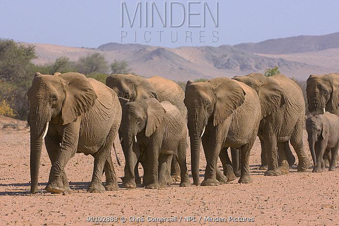 Desert adapted African elephants (Loxodonta africana) walking in line, Huab river valley, Damaraland, Namibia, November  -  Chris Gomersall/ npl