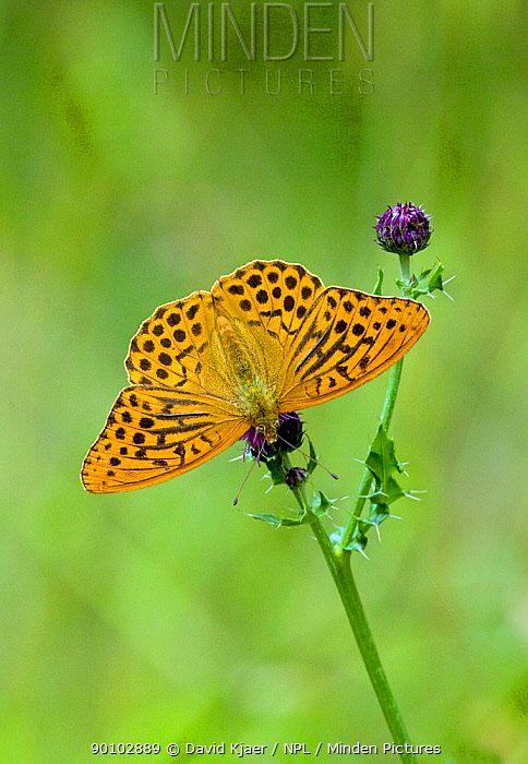 Silver washed fritillary butterfly (Argynnis paphia) on plant, Wiltshire, England, July  -  David Kjaer/ npl
