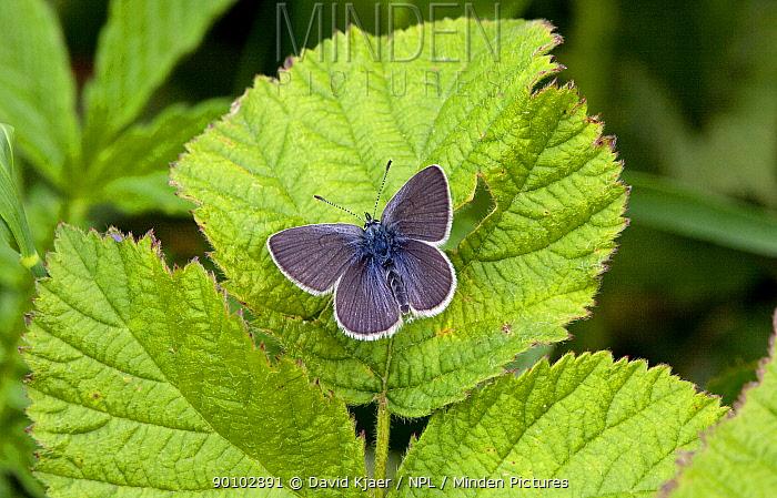 Male Small blue butterfly (Cupido minimus) on leaf, Hodd Hill, Dorset, England, May  -  David Kjaer/ npl