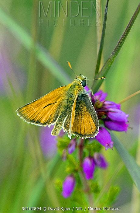 Male Small skipper butterfly (Thymelicus sylvestris) on flowers, Dorset, England, July  -  David Kjaer/ npl