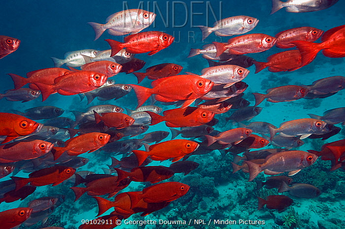 Big eye, Goggle eye fish (Priacanthus hamrur) large shoal over reef, Egypt, Red Sea  -  Georgette Douwma/ npl