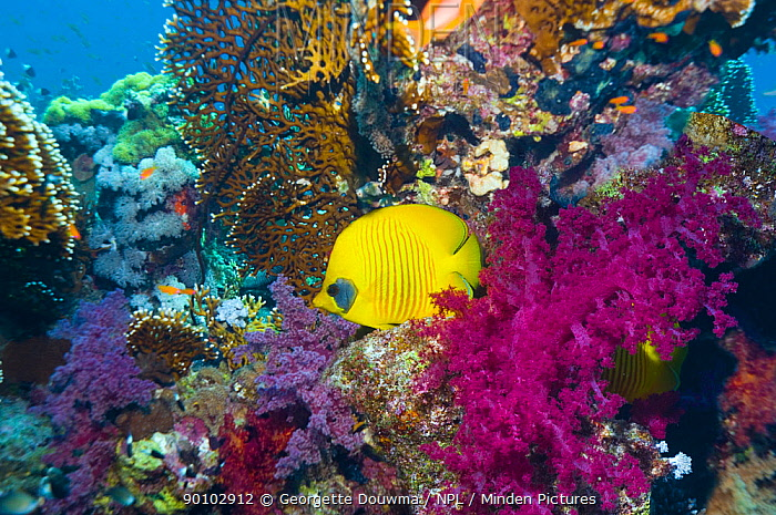 Golden butterflyfish (Chaetodon semilarvatus) Range Red Sea and Gulf of Aden, Red Sea, Egypt  -  Georgette Douwma/ npl