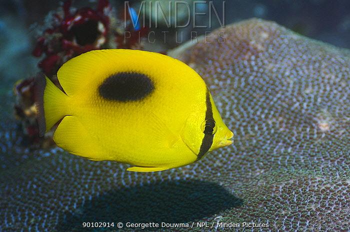 Ovalspot butterflyfish (Chaetodon speculum) Misool, Raja Ampat, West Papua, Indonesia  -  Georgette Douwma/ npl