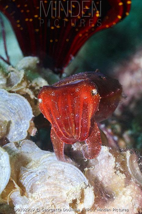 Papuan cuttlefish (Sepia papuensis) Rinca, Indonesia  -  Georgette Douwma/ npl