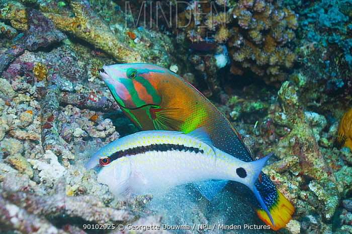 Dash-and-dot goatfish (Parupeneus barberinus) digging for food such as molluscs, crustaceans and urchins, in coral rubble, shadowed by a Yellowtail coris (Coris gaimard) Misool, Raja Ampat, West Papua, Indonesia  -  Georgette Douwma/ npl