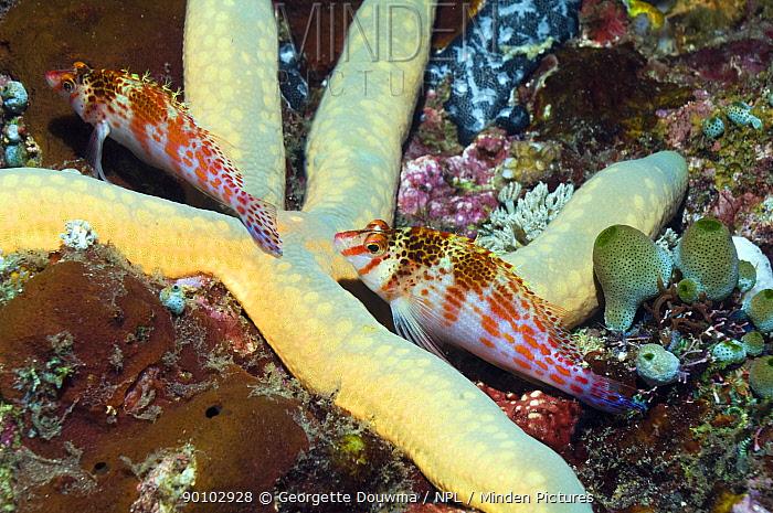 Falco, Dwarf hawkfish (Cirrhitichthys falco) pair on starfish (Lincka laevigata) Puerto Galera, Philippines  -  Georgette Douwma/ npl