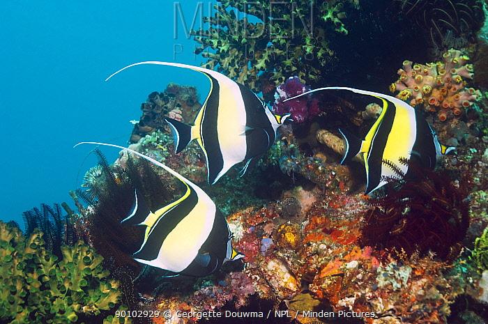 Moorish idol (Zanclus cornutus) swimming past coral wall, Rinca, Indonesia  -  Georgette Douwma/ npl