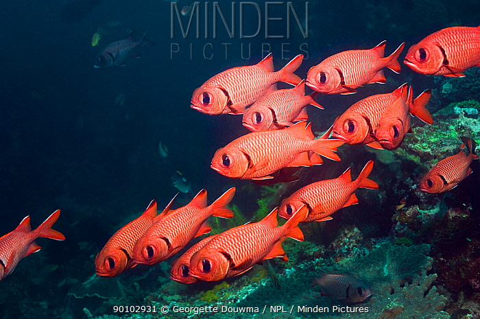 Bigscale soldierfish (Myripristis berndti) resting on reef with crinoids, Rinca, Indonesia  -  Georgette Douwma/ npl