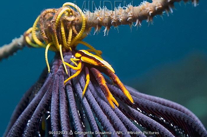 Squat lobster (Allogalathea elegans) on featherstar, Solomon Islands  -  Georgette Douwma/ npl