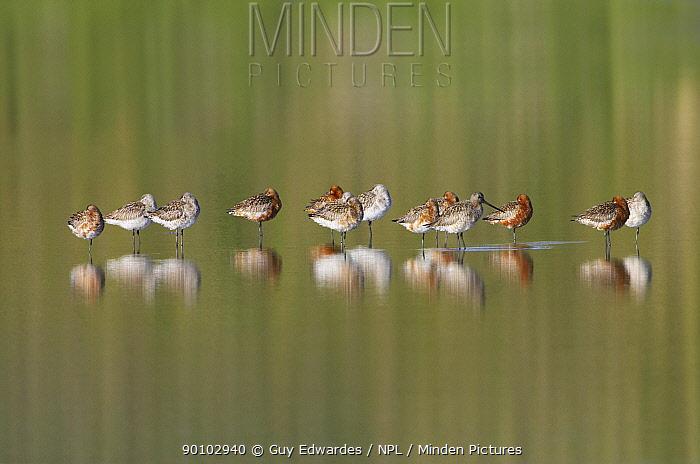 Bar-tailed godwits (Limosa lapponica) resting, The Fleet, Weymouth, Dorset, England, April  -  Guy Edwardes/ npl
