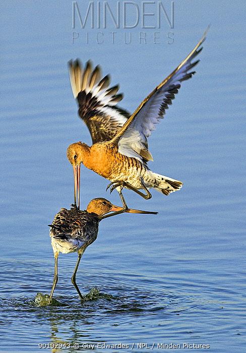 Black-tailed godwits (Limosa limosa) fighting, Lodmoor RSPB reserve, Weymouth, Dorset, England, August  -  Guy Edwardes/ npl