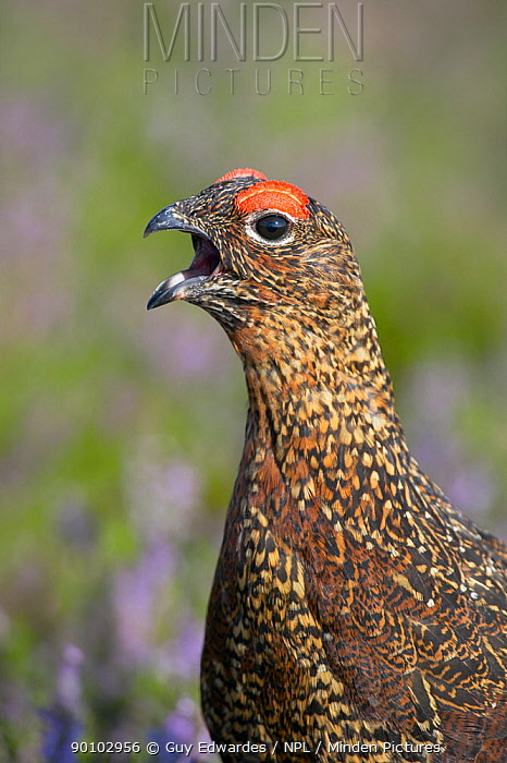 Red grouse (Lagopus lagopus) calling, Reeth, North Yorkshire, England, August  -  Guy Edwardes/ npl