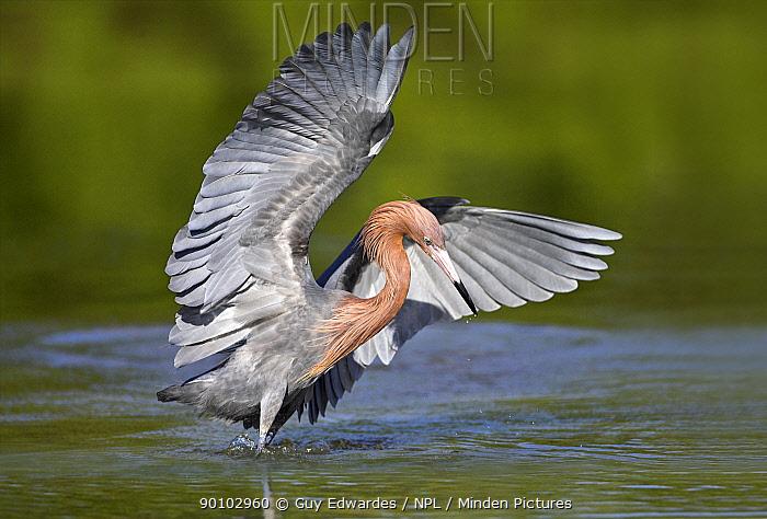 Reddish Egret (Egretta rufescens) hunting in shallow water, Little Estreo Lagoon, Fort Myers Beach, Florida, USA, March  -  Guy Edwardes/ npl