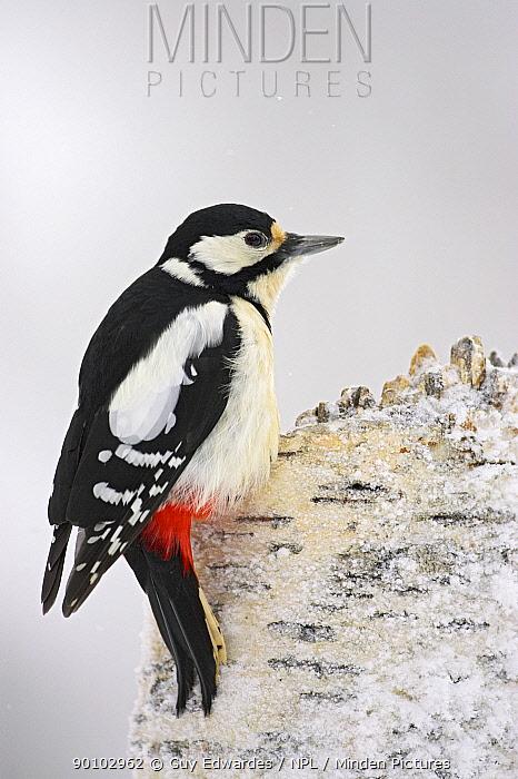 Great spotted woodpecker (Dendrocopos major) on tree stump in snow, Oulu, Finland, February  -  Guy Edwardes/ npl