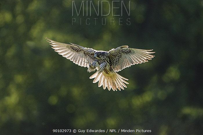 Falcon (hybrid Gyr, Lanner falcon) in flight,  -  Guy Edwardes/ npl