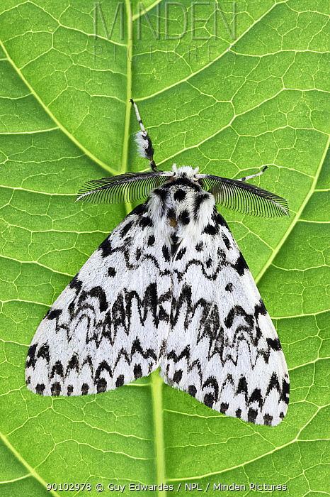 Black arches moth (lymantria monacha) on leaf, Uplyme, Devon, England, August  -  Guy Edwardes/ npl