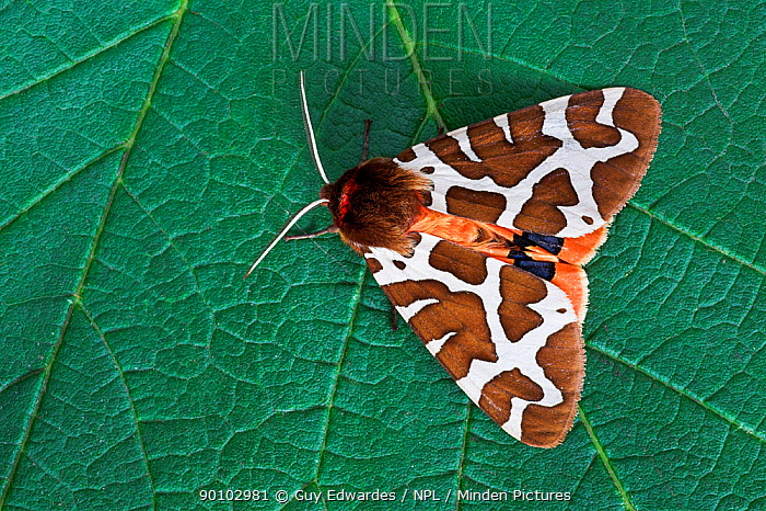 Garden tiger moth (Arctia caja) on leaf, Uplyme, Devon, England, July  -  Guy Edwardes/ npl