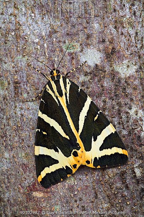 Jersey tiger moth (Euplagia quadripunctaria) on tree trunk, Isle of Portland, Dorset, England, July  -  Guy Edwardes/ npl
