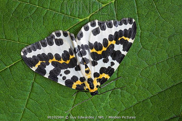 Magpie moth (Abraxas grossulariata) on leaf, Isle of Portland, Dorset, England, July  -  Guy Edwardes/ npl