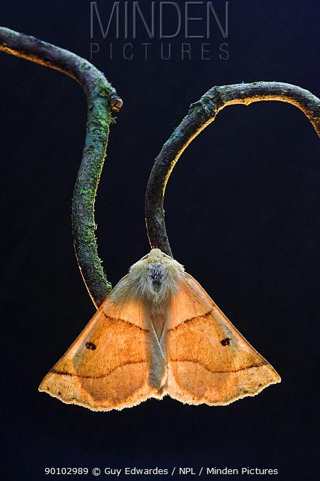 Scalloped oak moth (Crocallis elinguaria) on twig, Uplyme, Devon, England, July  -  Guy Edwardes/ npl