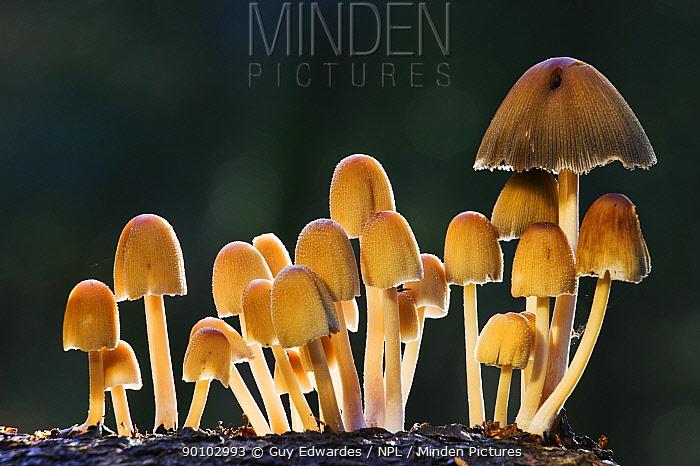 Glistening ink caps (Coprinus micaceus) Bolderwood, New Forest National Park, Hampshire, England, October  -  Guy Edwardes/ npl