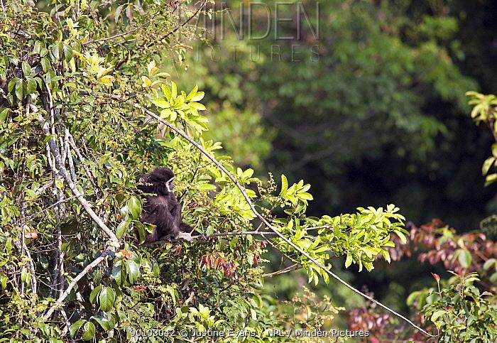 Alpha female White-handed gibbon (Hylobates lar) sitting in tree, Cassandra a member of study group C, Khao Yai National Park, Thailand, Endangered species  -  Justine Evans/ npl