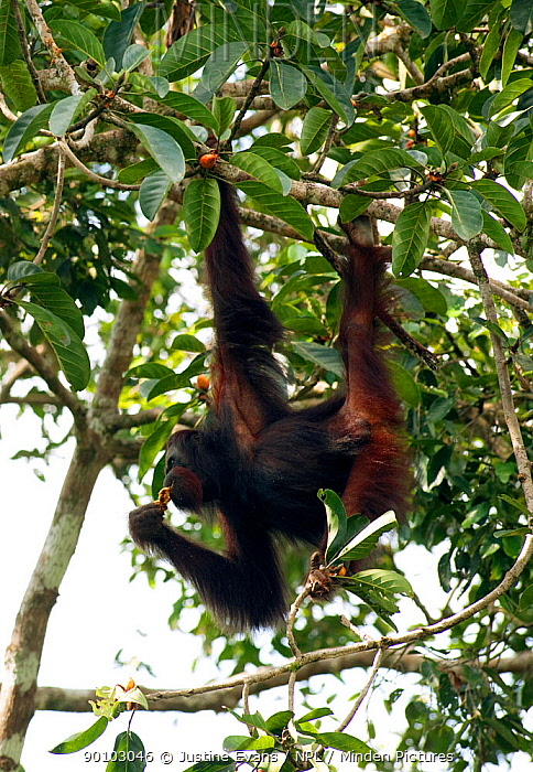 Male Orang utan (Pongo pygmaeus) feeding on fruit in strangler fig tree, Danum Valley, Sabah, Borneo  -  Justine Evans/ npl