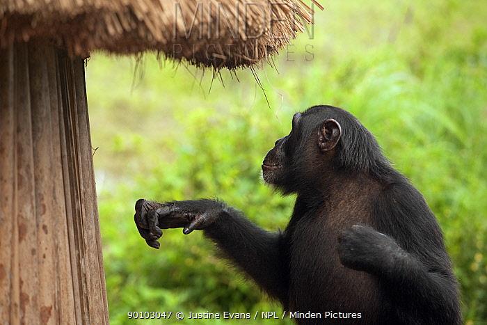 Adolescent male Chimpanzee (Pan troglodytes) Pele next to crop storage hut, from study group in Bossou, Guinea  -  Justine Evans/ npl
