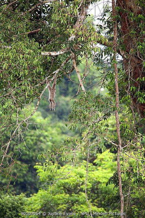 Alpha male White-handed gibbon (Hylobates lar) hanging from strangler fig, Chai a member of study group C, Khao Yai National Park, Thailand, Endangered species  -  Justine Evans/ npl