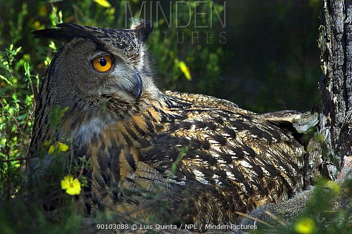 Female Eagle owl (Bubo bubo) on nest, Alentejo, Portugal  -  Luis Quinta/ npl