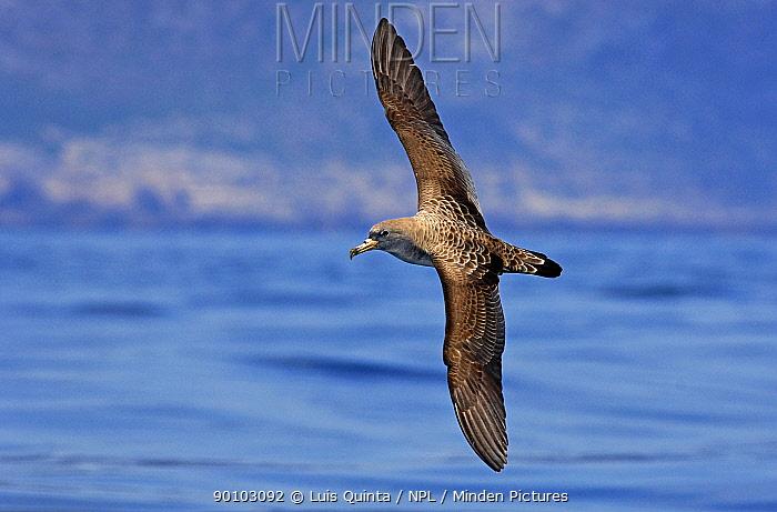 Cory's shearwater (Calonectris diomedea) in flight over sea, Arr�bida Natural Park, Portugal  -  Luis Quinta/ npl