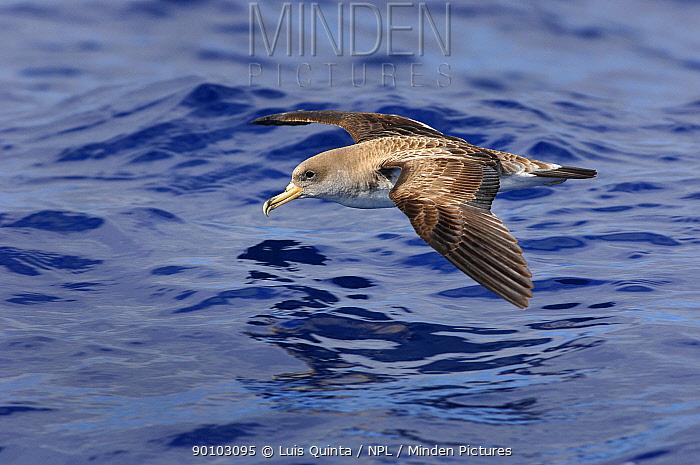 Cory's shearwater (Calonectris diomedea) in flight over sea, Azores  -  Luis Quinta/ npl