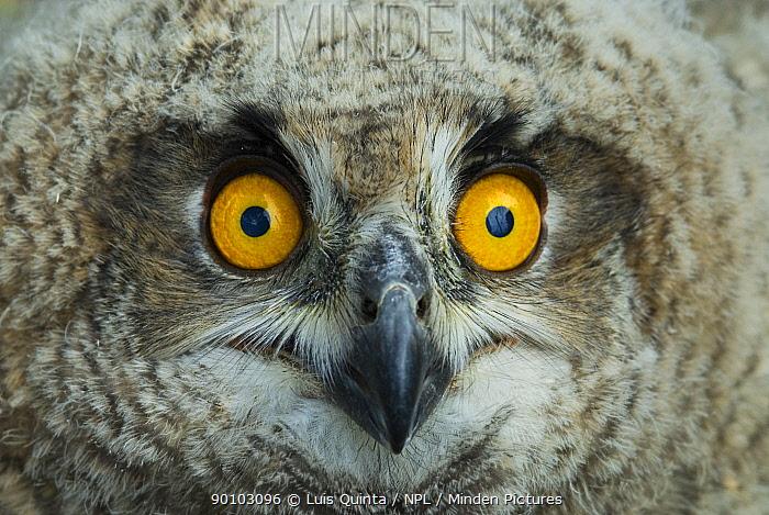 Eagle owl (Bubo bubo) chick, close-up of face, Alentejo, Portugal  -  Luis Quinta/ npl
